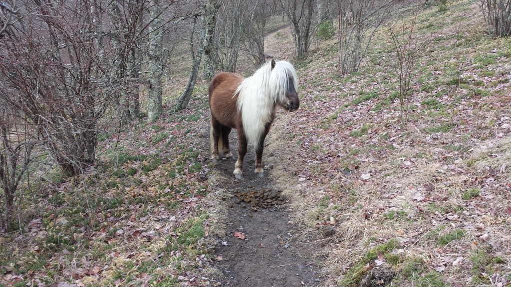 Wild pony in Grayson Highland, standing guard over his proud accomplishment