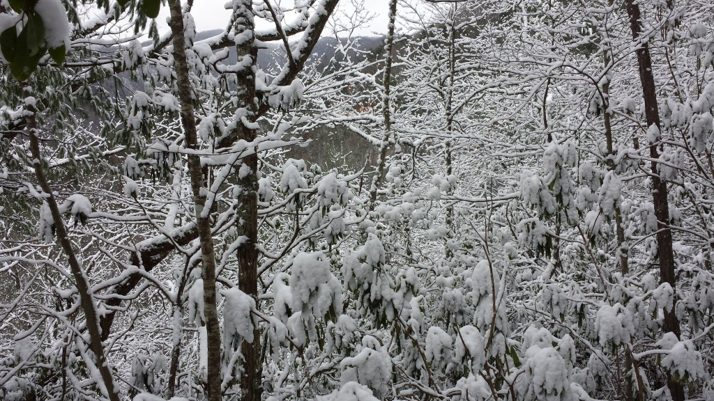 Snow on rhododendrons always looks heavy
