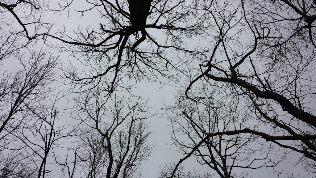 Somber treetops